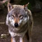 赤ずきんちゃん(Rotkäppchen)をドイツ語で読む 第8回 ~狼の妄想~
