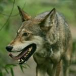 赤ずきんちゃん(Rotkäppchen)をドイツ語で読む 第9回 ~狼のキャッチセールス~